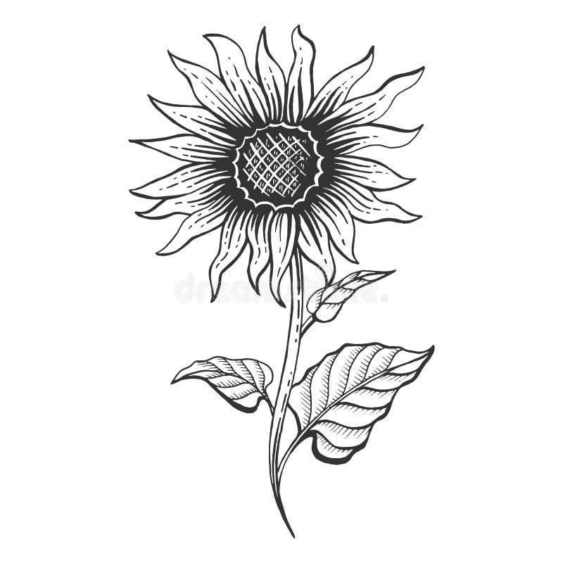 Vector del grabado del bosquejo de la planta del girasol stock de ilustración