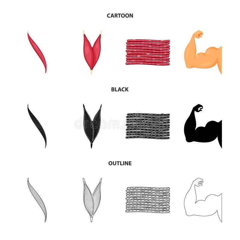 Vector design of fiber and muscular sign. Set of fiber and body  vector icon for stock. Vector illustration of fiber and muscular logo. Collection of fiber and vector illustration