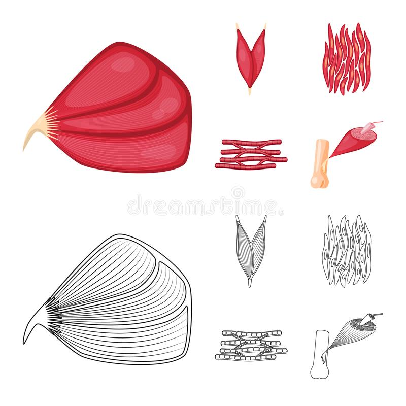 Vector design of fiber and muscular sign. Set of fiber and body stock vector illustration. Vector illustration of fiber and muscular logo. Collection of fiber stock illustration