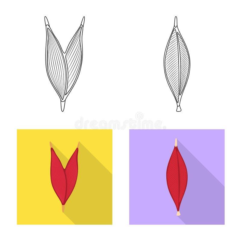 Vector design of fiber and muscular symbol. Set of fiber and body stock symbol for web. Vector illustration of fiber and muscular sign. Collection of fiber and royalty free illustration