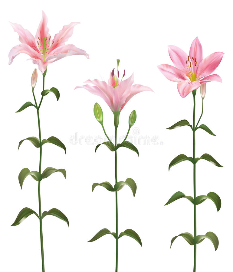 Download Lily flower stock vector. Illustration of calyx, closeup - 29956340
