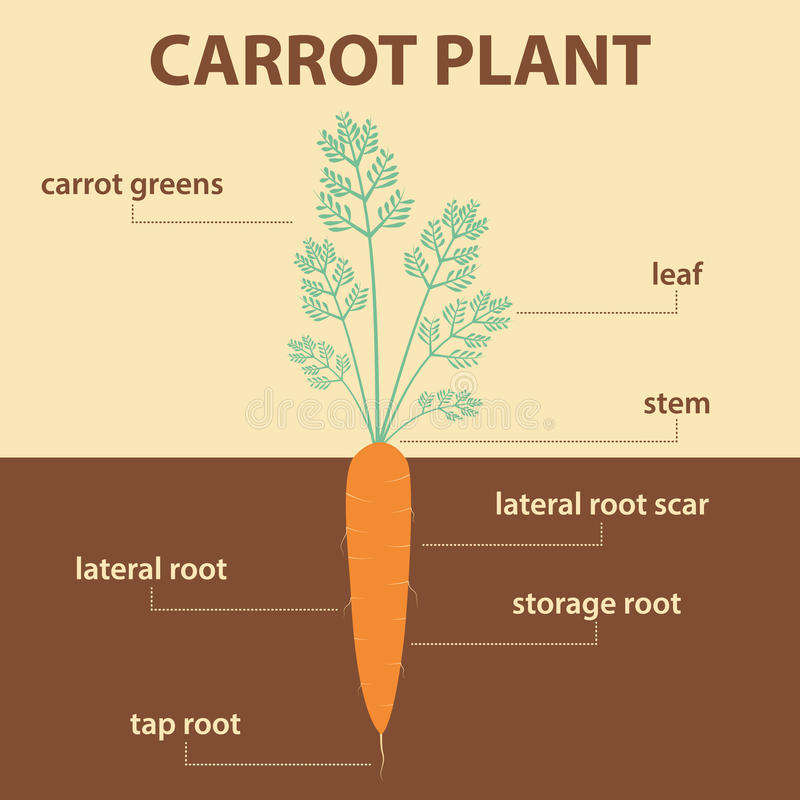 Vector diagram showing parts of carrot whole plant vector illustration