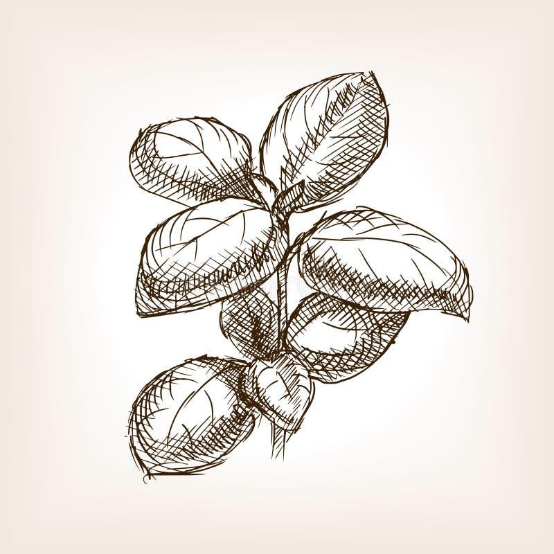 Vector dibujado mano del estilo del bosquejo de la albahaca libre illustration