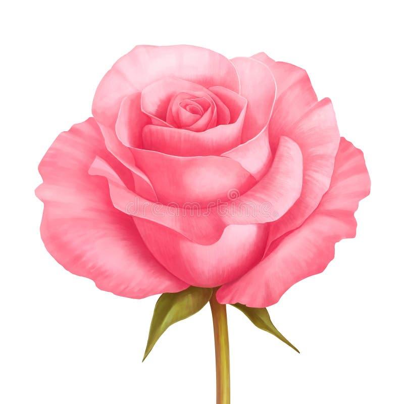 Vector die Blumenillustration des rosafarbenen Rosas, die auf Weiß lokalisiert wird vektor abbildung