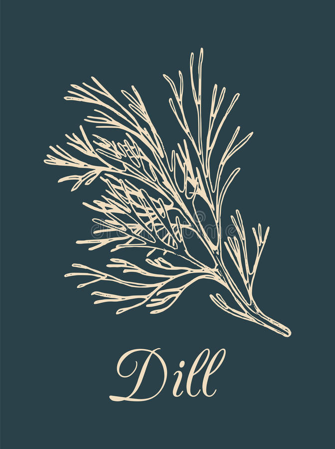 Vector dill illustration on dark background. Hand drawn sketch of spice plant. Botanical drawing of aromatic herb. Fennel isolated vector illustration