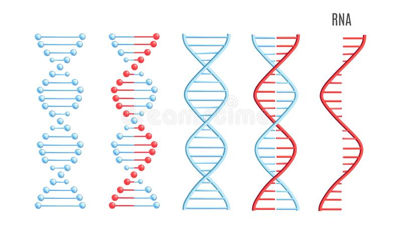 Vector DNA RNA molecule helix spiral genetic code stock illustration