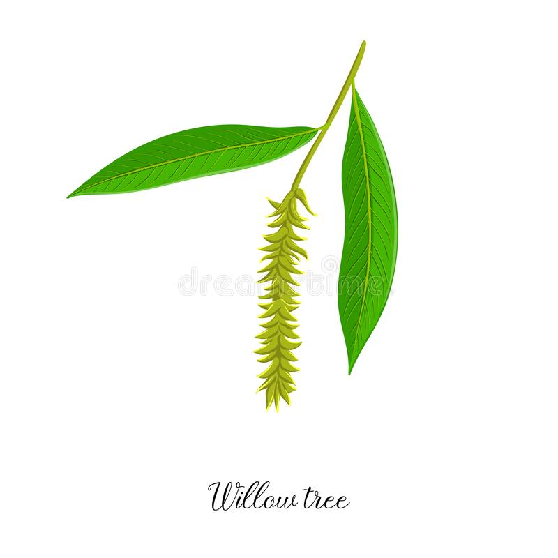 Vector drawing branch of willow tree vector illustration