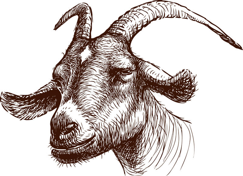 Head of goat. Vector drawing of the head of a mountain goat royalty free illustration