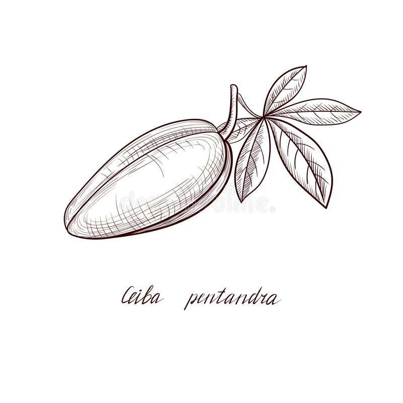 Vector drawing kapok seed fruit, Ceiba pentandra. Hand drawn illustration stock illustration
