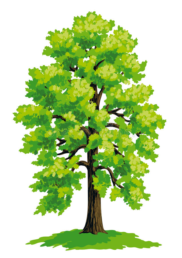 Vector drawing of linden stock illustration