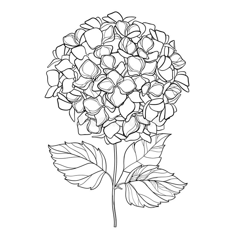 Vector drawing of outline Hydrangea or Hortensia flower bunch and ornate leaves in black isolated on white background. royalty free illustration