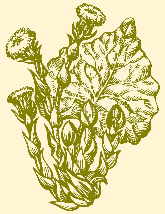 Vector drawing. Spring primroses Coltsfoot (Tussilago Farfara) vector illustration