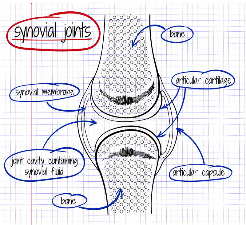 Vector drawing of a synovial joint royalty free illustration