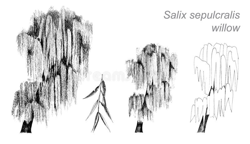 Vector drawing of willow (Salix sepulcralis) stock illustration