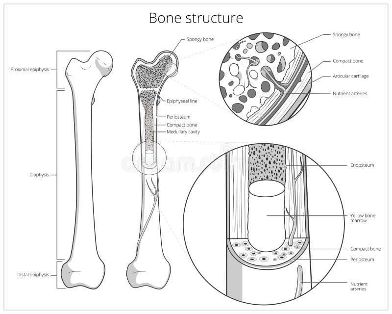 Vector educativo médico de la estructura del hueso stock de ilustración
