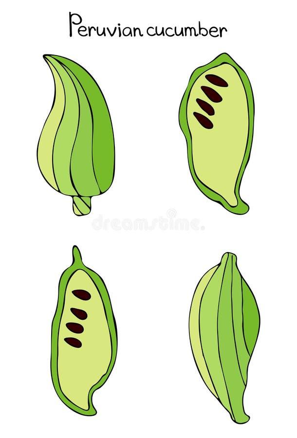 Vector eetbare illustratie van cyclantera, komkommerachohcha, Peruviaanse komkommer stock illustratie
