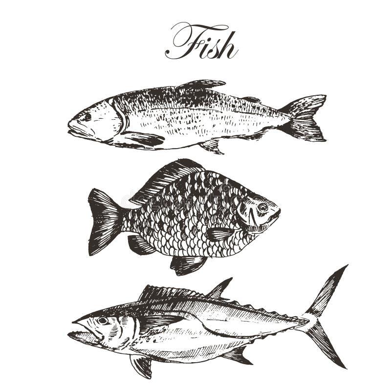 Vector el dibujo de bosquejo de los pescados - salmón, trucha, carpa, atún ejemplo dibujado mano del marisco libre illustration