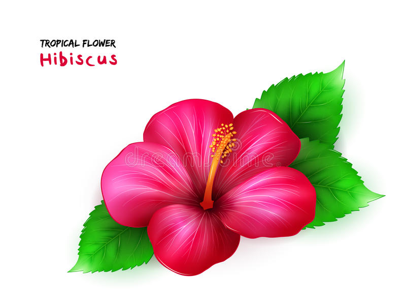 Vector el ejemplo de la flor floreciente tropical realista aislada del hibisco con las hojas libre illustration