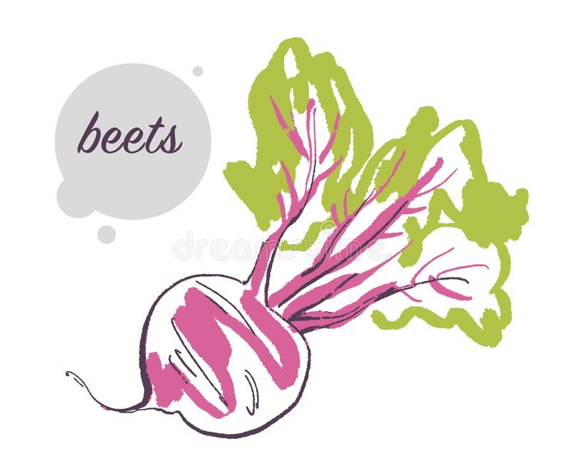 Vector el ejemplo dibujado mano de la verdura cruda fresca de las remolachas aislada en el fondo blanco libre illustration