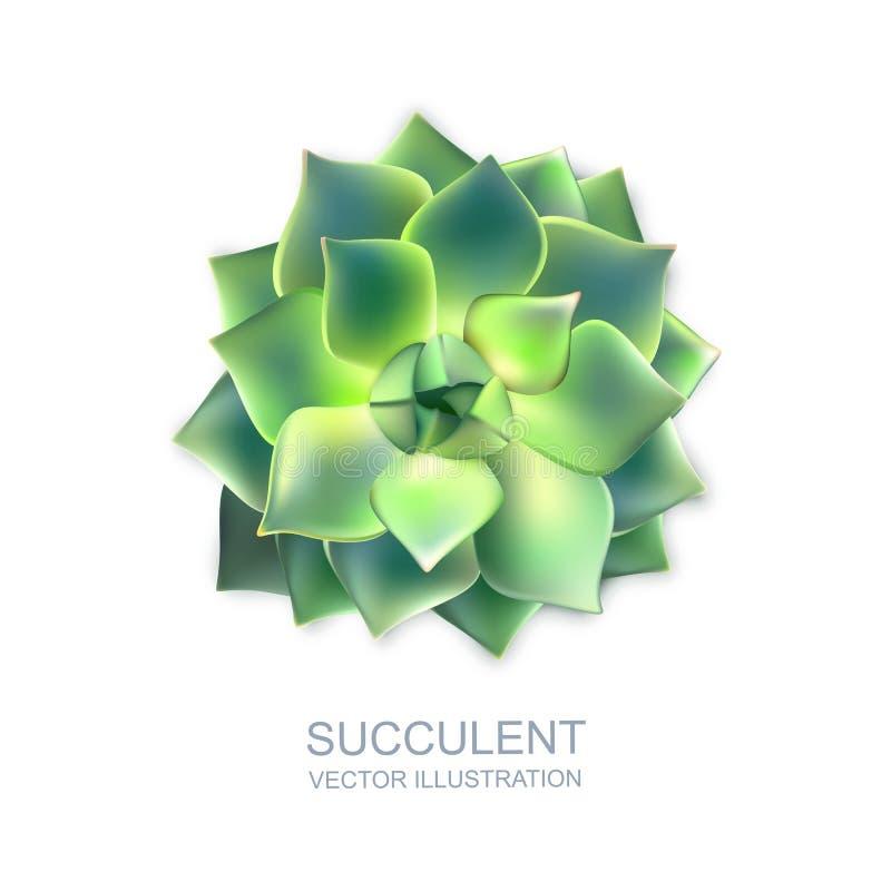 Vector el ejemplo realista del succulent verde aislado en el fondo blanco Opinión superior de la flor del cactus stock de ilustración