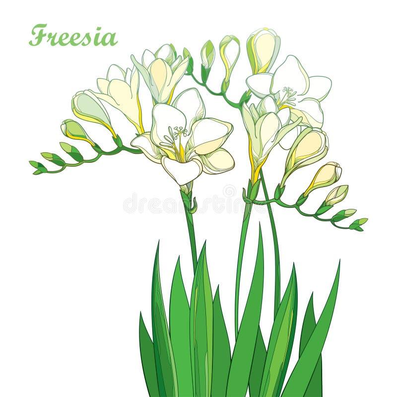 Vector El Manojo Blanco En Colores Pastel De La Flor De La Fresia ...
