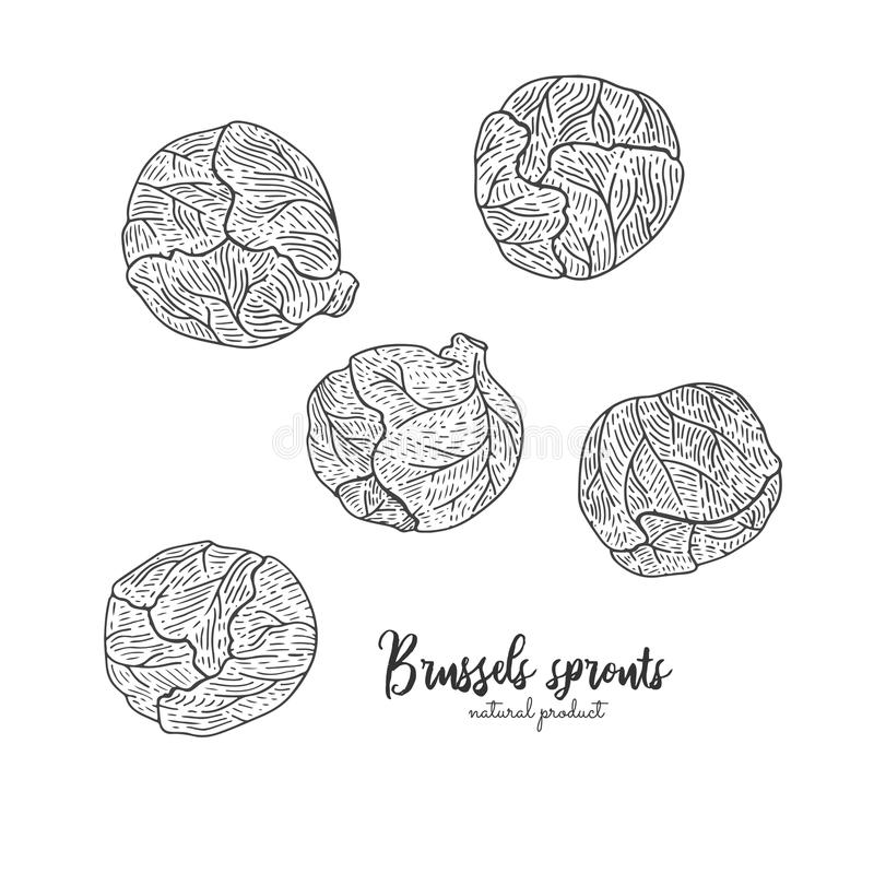 Vector engraved illustration of brussels sprouts. Eco organic food. Vegetarian food for design menu, recipes, wrapping vector illustration