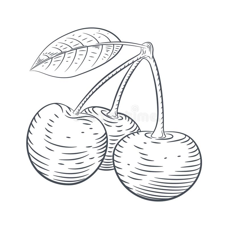 Vector engraved illustration of cherry berries sketch royalty free stock photo