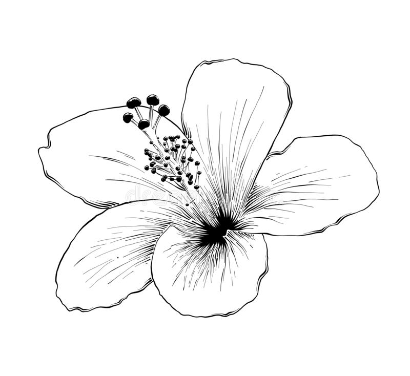 Hand drawn sketch of hawaiian hibiscus flower in black isolated on white background. Detailed vintage etching style drawing. stock illustration