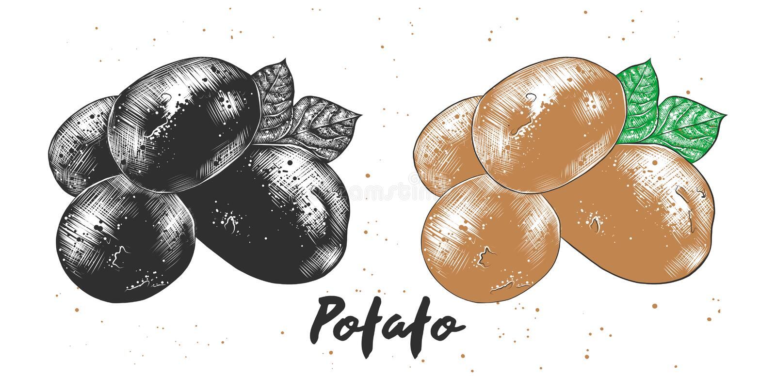 Hand drawn sketch of potato in monochrome and colorful. Detailed vegetarian food drawing. stock illustration