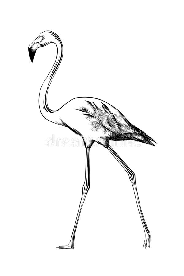 Hand drawn sketch of flamingo bird in black isolated on white background. Detailed vintage etching style drawing. vector illustration
