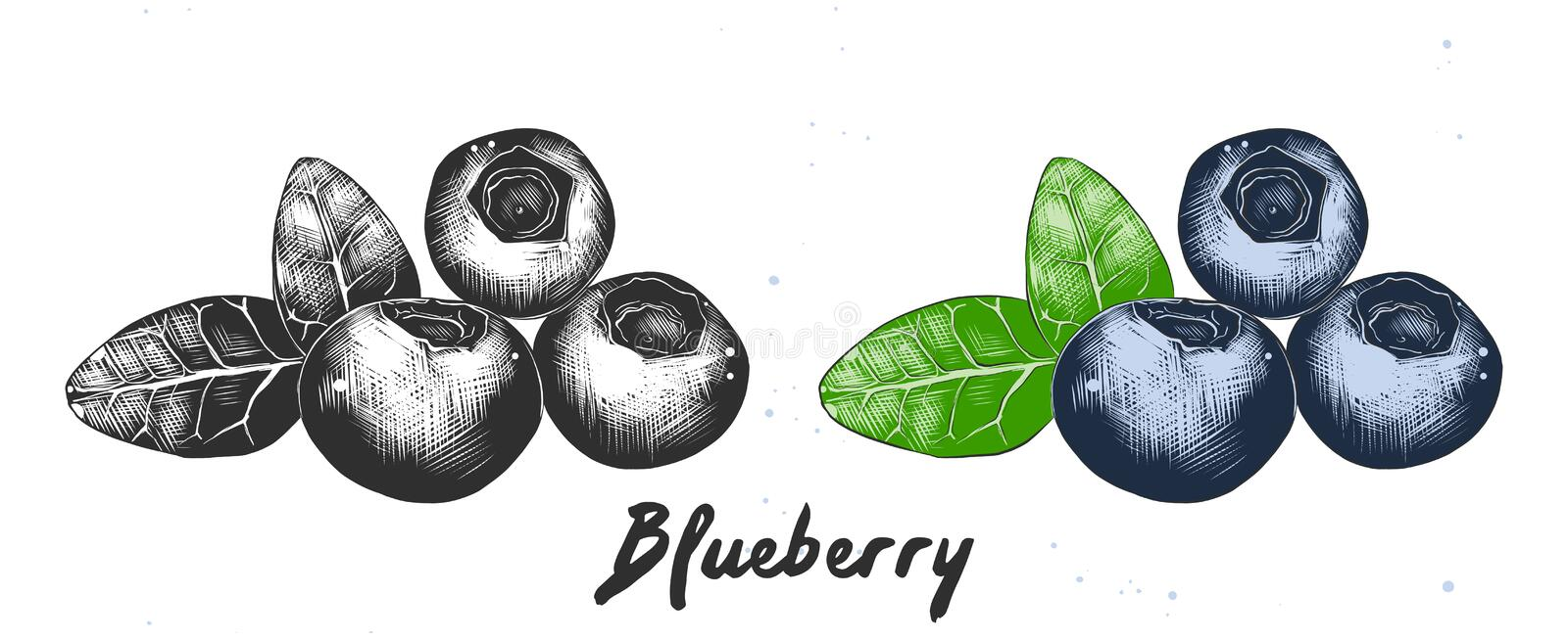 Hand drawn sketch of blueberry in monochrome and colorful. Detailed etching food drawing. Vector engraved style illustration for posters, decoration, packaging stock illustration