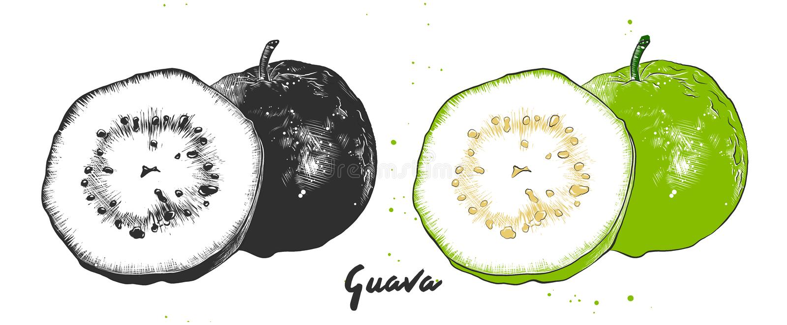 Hand drawn sketch of guava fruit in monochrome and colorful. Detailed vegetarian food drawing vector illustration