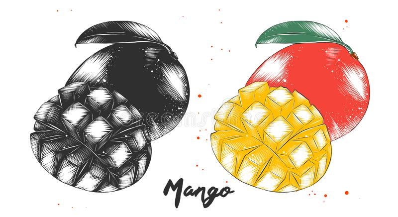 Hand drawn sketch of mango fruit in monochrome and colorful. Detailed vegetarian food drawing royalty free illustration
