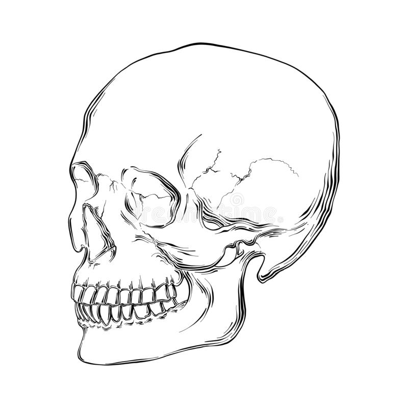 Hand drawn sketch of human skull in black isolated on white background. Detailed vintage etching style drawing. Vector engraved style illustration for posters royalty free illustration