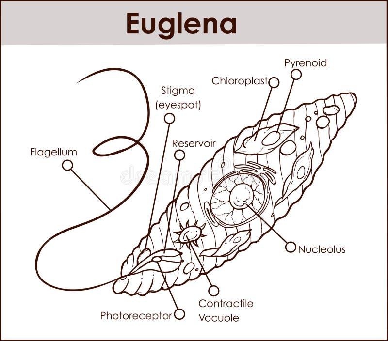 Vector euglena cross section diagram representative protists eug download vector euglena cross section diagram representative protists eug stock illustration illustration of cell ccuart Images