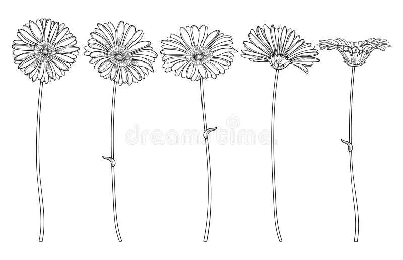 Vector fijado con la flor del Gerbera o de Gerber del esquema y el brote adornado en negro aislados en el fondo blanco Planta orn ilustración del vector