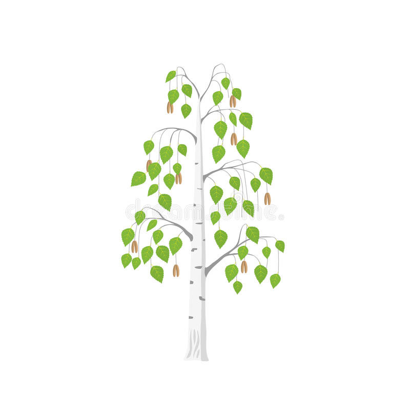Vector flat Birch tree. Isolated. Silver birch with green leaves on white background stock illustration