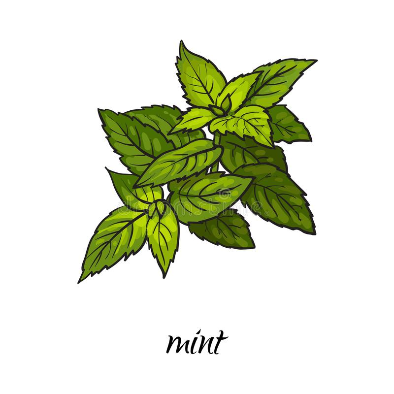 Vector flat cartoon sketch hand drawn mint leaves vector illustration