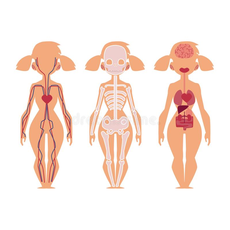 Vector people internal organs anatomy structure stock vector vector flat structure of the human body anatomy female internal organs nervous bloodstream circulatory cardiovascular system illustration on a white ccuart Choice Image
