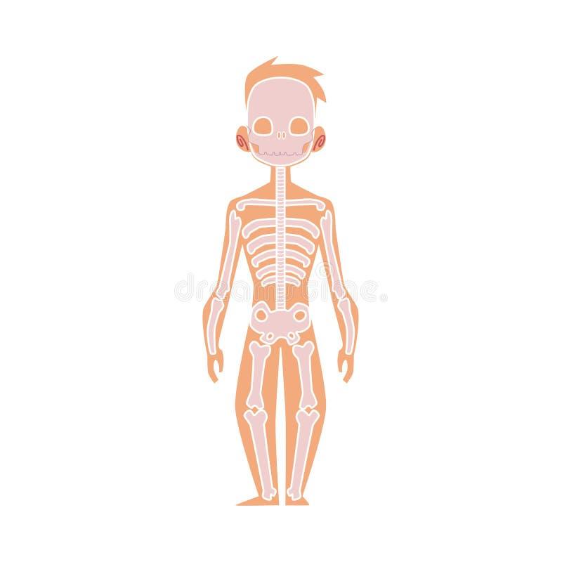 Vector Flat Structure Human Body Anatomy Skeleton Stock Vector