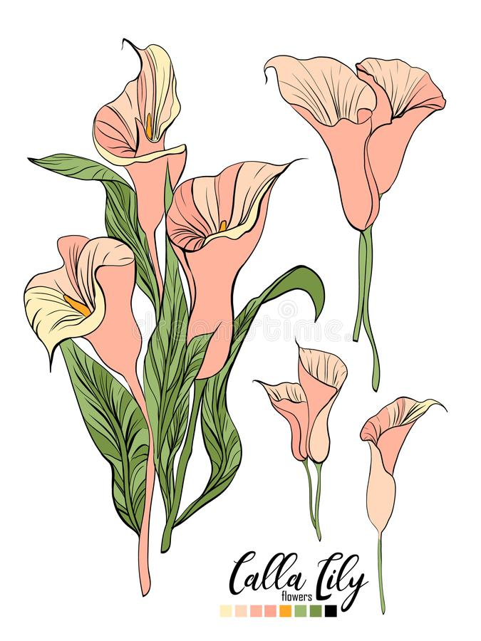 Vector floral bouquet design: garden pink peach creamy powder pale Calla Lily flower. Wedding vector invite card. stock illustration