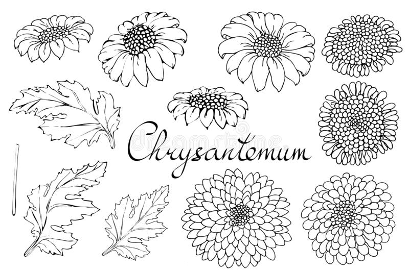 Vector floral illustration with chrysanthemum. Isolated elements on a white background. Monochrome contour golden-daisy for your vector illustration