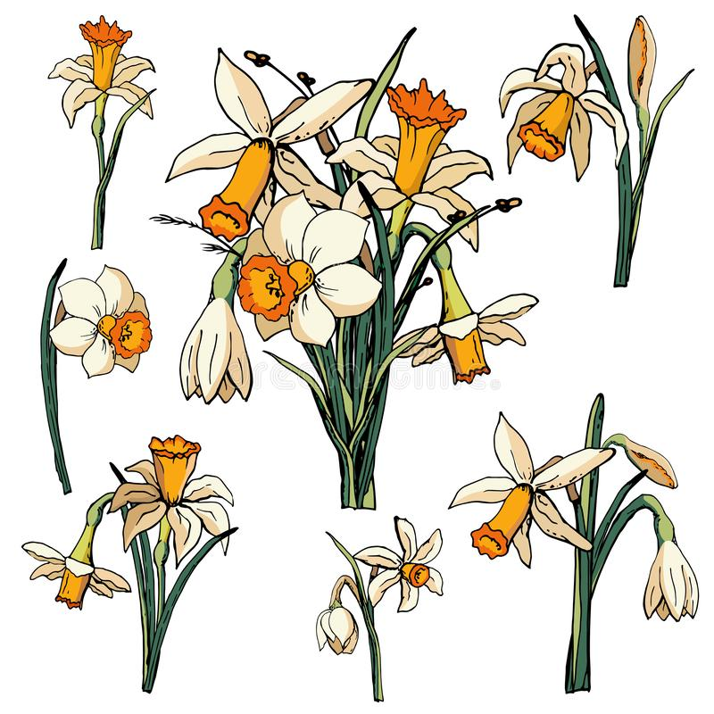 Vector floral illustration whit narcissus stock illustration