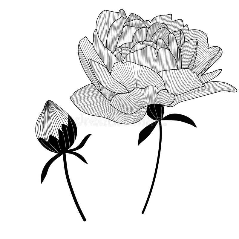 Vector flower and bud. Hand drawn pion. Isolated. Clip art royalty free illustration