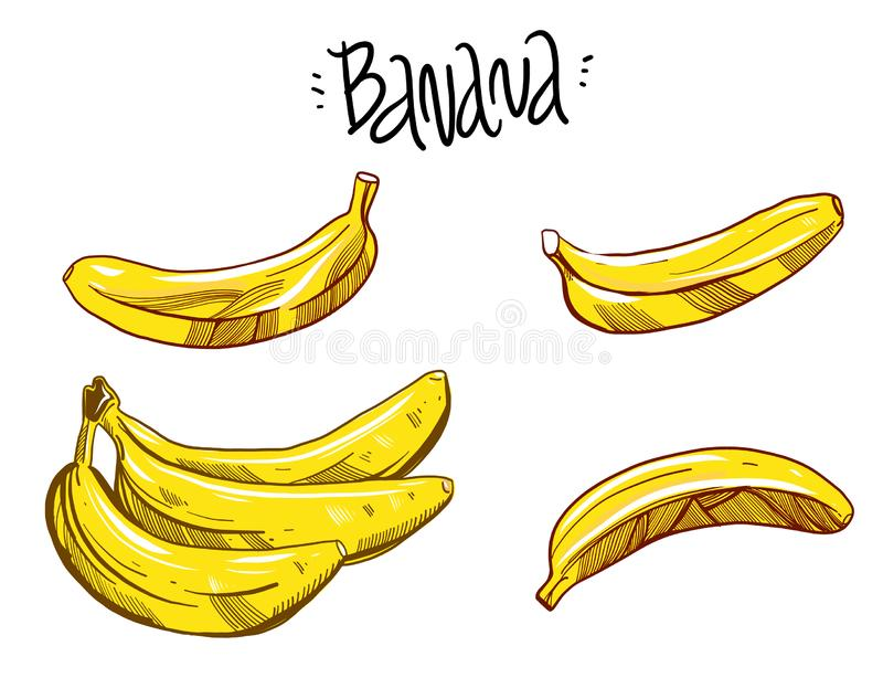 Vector fresh bananas. Peeled and sliced bananas, collection of sketch style vector illustration. Isolated on white background vector illustration