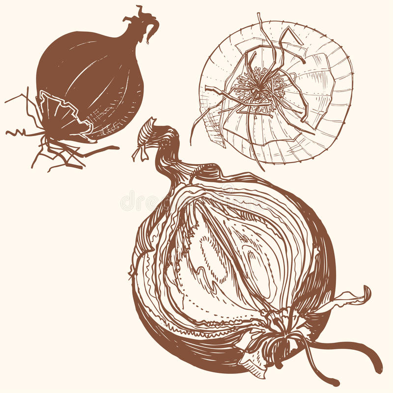 Vector fresh brown onions engrave drawing. vector illustration