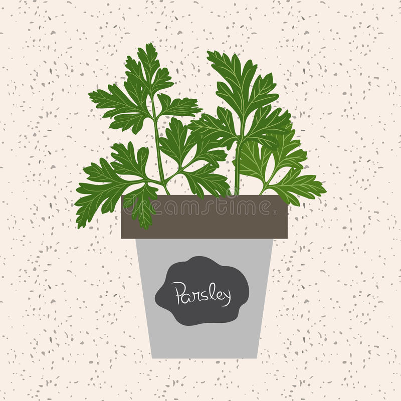 Vector - Fresh parsley herb in a flowerpot. Aromatic leaves used. To season meats, poultry, stews, soups, bouquet granny stock illustration