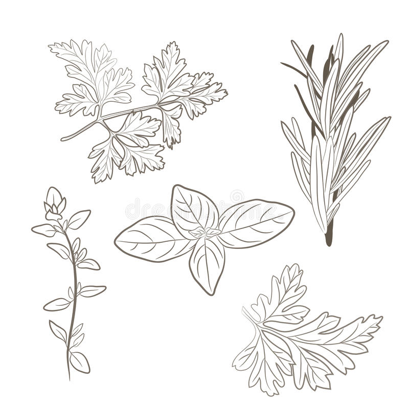Vector fresh parsley, thyme, rosemary, and basil herbs. Aromatic. Leaves used to season meats, poultry, stews, soups, Bouquet granny vector illustration