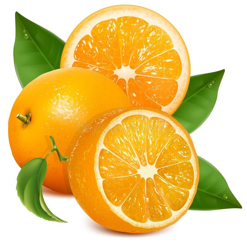 Fresh ripe oranges with leaves. Vector fresh ripe oranges with leaves vector illustration