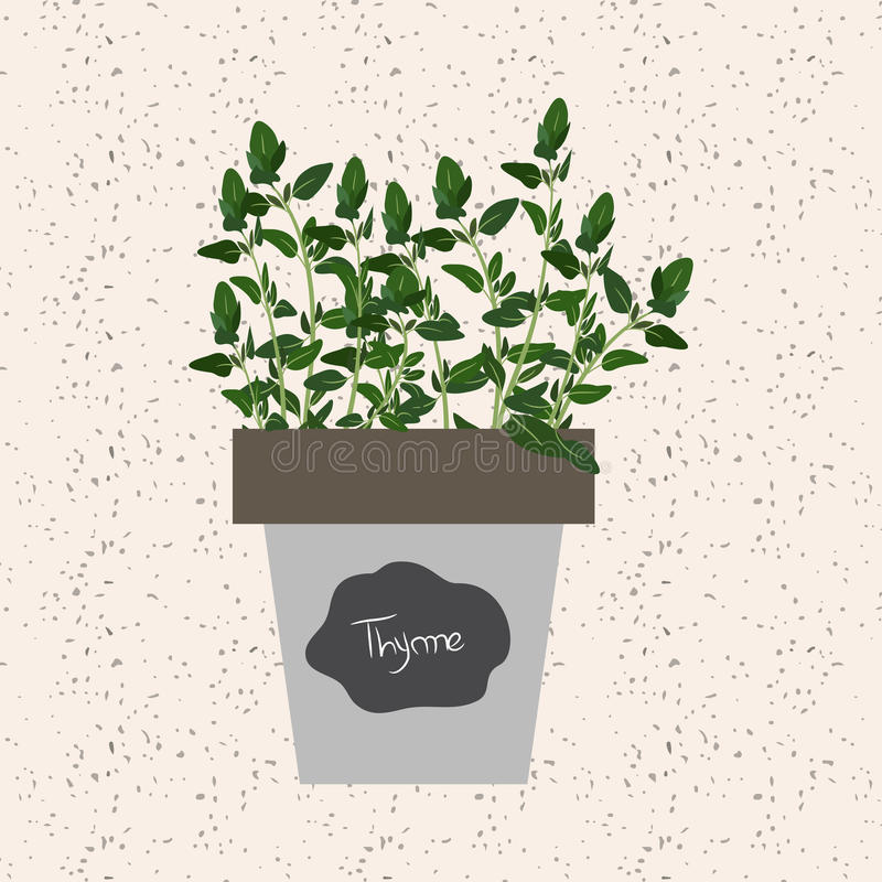 Vector - Fresh thyme herb in a flowerpot. Aromatic leaves. Used to season meats, poultry, stews, soups, bouquet granny vector illustration